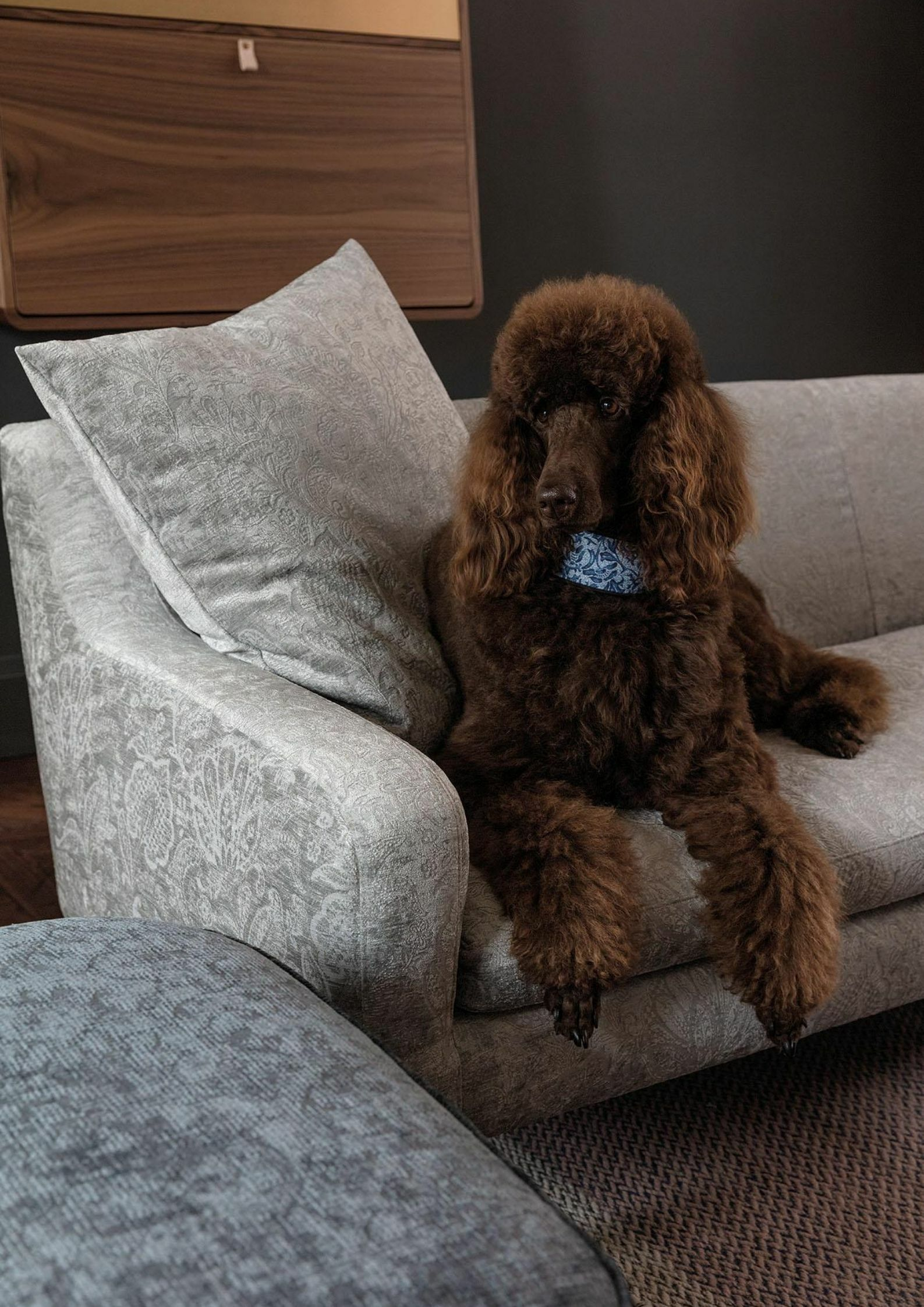 cuddly chocolate dog on a sofa upholstered in protege by fibreguard